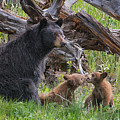 Mama Black Bear With Cinnamon Cubs by Martin Belan
