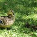 Mama Duck by Manuel Sanchez