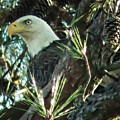 Mama Eagle  by Phill Doherty