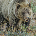 Mama Grizzly Blondie by Yeates Photography