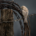 Mama House Finch by Larry Pacey