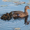 Mama Mallard And Her Ducklings by Linda Crockett