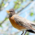 Mama Robin 1 by Ron Glaser