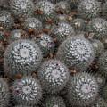 Mammillaria Cactus  by Lon Dittrick
