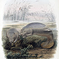 Manatees, Vulnerble Species by Biodiversity Heritage Library