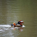 Mandarin Duck 20130507_41 by Tina Hopkins
