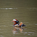 Mandarin Duck 20130507_46 by Tina Hopkins