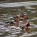 Mandarin Duck 20130507_93 by Tina Hopkins