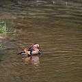 Mandarin Duck 20130508_314 by Tina Hopkins