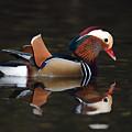 Mandarin Duck by Grant Glendinning