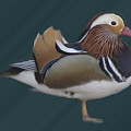 Mandarin Duck II by Donna Brown