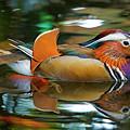 Mandarin Duck by Julian Regan
