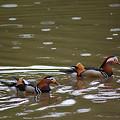 Mandarin Ducks 20130507_96 by Tina Hopkins