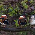 Mandarin Ducks by Bob Kemp