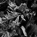 Mandarin Honeysuckle Vine 2 Black And White by Marina McLain
