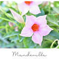 Mandevilla Pink Beauty by Elaine MacKenzie