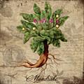 Mandrake Vintage Elements Botanicals Collection by Tina Lavoie