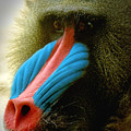 Mandrill by Richard Henne