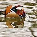 Mandrin Duck Going For A Swim by Douglas Barnett