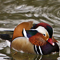Mandrin Duck Posing by Douglas Barnett