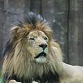 Mane Standing Up Around The Head Of A Lion by DejaVu Designs