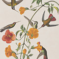 Mango Humming Bird by John James Audubon