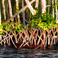 Mangrove At Gumbo Limbo by Donna Walsh