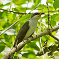 Mangrove Cuckoo by Natural Focal Point Photography
