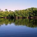 Mangrove Forest by Steven Scott