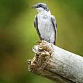 Mangrove Swallow Costa Rica by Joan Carroll