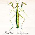 Mantis by Fernando Bolivar