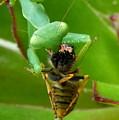 Mantis Munchies by Guy Pettingell