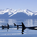 Many Orca Whales by John Hyde - Printscapes
