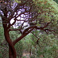 Manzanita Tree By The Road by Mary Deal
