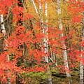 Maple Birch Forest In Autumn by John Burk