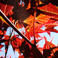Maple Fire by Rasma Bertz