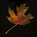 Maple Leaf by David Stone