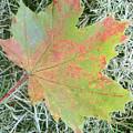 Maple Leaf by Luzia Light