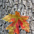 Maple Leaf On A Maple Tree by Andreas Freund