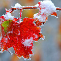 Maple Leaf With Snow by Alan Lenk
