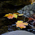 Maple Leaves-0006 by Sean Shaw