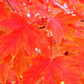 Maple Leaves 3 Pd  by Lyle Crump