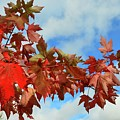 Maple Leaves Against The Sky  by Lyle Crump