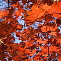 Maple Leaves Aglow by Douglas Barnett