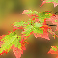 Maple Leaves Changing by Michael Peychich