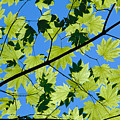 Maple Leaves by Greg Vaughn - Printscapes