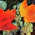 Maple Leaves On Fallen Log by Thomas R Fletcher