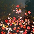 Maple Leaves On The Water  by Lyle Crump