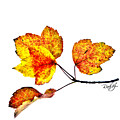 Maple Leaves by Rahat Iram