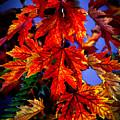Maple Leaves by Robert Bales